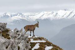 Mountain Goat Stock Photo