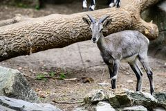 Mountain goat in the zoo royalty free stock photos
