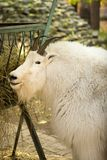 Mountain Goat at the zoo Royalty Free Stock Images