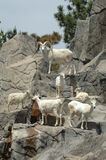 Mountain Goats 1. A family of mountain goast stands on the rocks Royalty Free Stock Photo