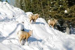 Mountain goats Royalty Free Stock Photo