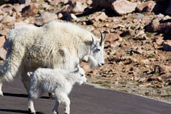 Mountain Goats. A mother mountain goat and its kid cross the road on Mt. Evans in Colorado. Mt. Evans is one of the 55 mountains in Colorado that stand at over Stock Photography