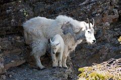 Mountain Goats. Pair of mountain goats balanced on a rock cliff near Logan Pass in Glacier National Park, Montana Royalty Free Stock Photos