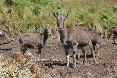 The mountain goats Royalty Free Stock Photos