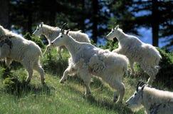 Mountain Goats. Canada, Alberta, Banff NP, herd of mountain goats walking on pasture Royalty Free Stock Photos