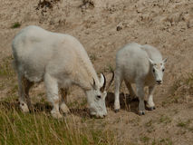 Mountain goats. Stock Images