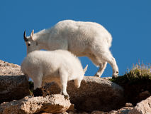 Mountain Goats Royalty Free Stock Photos