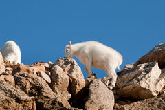 Mountain Goats Stock Image
