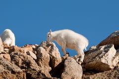 Mountain Goats Stock Image