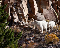 Mountain Goats Royalty Free Stock Image