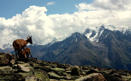 Mountain Goats. Mommy & baby goats reveling a scenic view Royalty Free Stock Photos