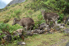 Mountain goats. Standing on the mountains of Munnar, Kerala, India Stock Photography