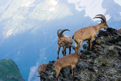 Mountain goats. In the Western Caucasus Stock Photo