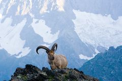 Mountain goats. In the Western Caucasus Stock Photography