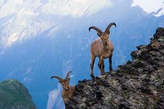 Mountain goats. In the Western Caucasus Stock Images