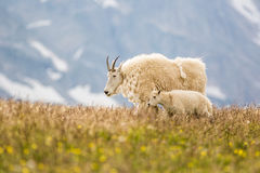 Mountain Goats Royalty Free Stock Photos