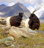 Mountain goats. He-goats in the middle of the Swiss alps Stock Photos