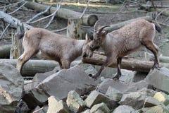 Mountain goats Stock Photo