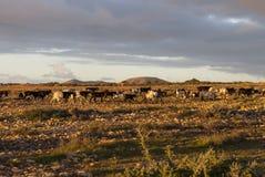 Free Mountain Goats Stock Photography - 50649142