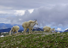 Mountain Goats on Aeneas Stock Photo