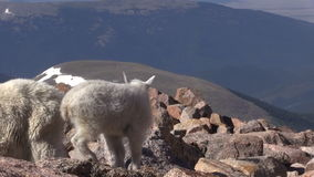 Mountain Goats in the Alpine. Mountain goats in the Colorado high country stock video footage