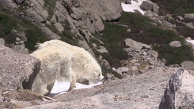 Mountain goats in the alpine. A pair of mountain goats  in the high country stock footage