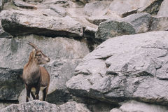 Mountain Goats Stock Photos