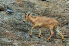 The mountain goats,animal. royalty free stock photo