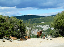 Mountain goats in the Ardeche Gorge, France Stock Photography