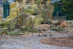 Mountain goats. In the Berlin zoo Stock Image