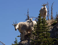 Mountain Goats Checking Me Out Stock Photography