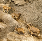 Mountain goats on a cliff Royalty Free Stock Photography