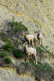 Mountain goats on cliff stock photography