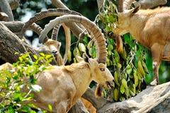 Mountain Goats. Close up of Mountain Goats, selective focus Royalty Free Stock Photo
