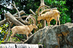 Mountain Goats. Close up of Mountain Goats, selective focus Royalty Free Stock Image