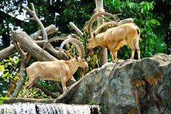 Mountain Goats Royalty Free Stock Image