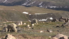 Mountain Goats. In the Colorado high country stock video