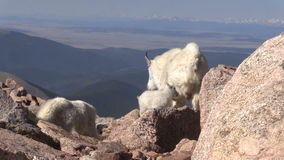 Mountain Goats. In the Colorado high country stock footage