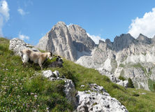 Mountain goats in Dolomite mountains Royalty Free Stock Photo