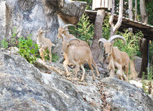 Mountain Goats family Royalty Free Stock Photography