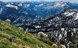 Mountain Goats Feeding In The Alpine Stock Image