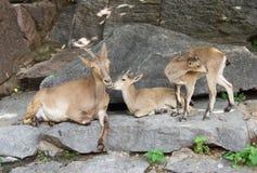 Mountain goats. Stock Photos