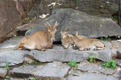 Mountain goats. Royalty Free Stock Photo