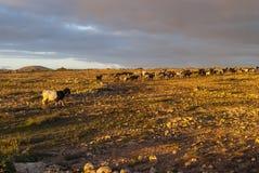 Mountain Goats. On Fuerteventura - cloudy sky - no people royalty free stock photos
