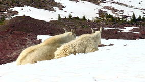 Mountain Goats Glacier National Park stock video footage