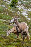Mountain Goats Grazing on Parker Ridge in Canadian Rockies. Mountain goats grazing on the summit of Parker Ridge in Jasper National Park in the Canadian Rockies royalty free stock photo