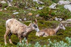 Mountain Goats Grazing on Parker Ridge in Canadian Rockies. Mountain goats grazing on the summit of Parker Ridge in Jasper National Park in the Canadian Rockies stock photo