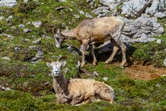 Mountain Goats Grazing on Parker Ridge in Canadian Rockies. Mountain goats grazing on the summit of Parker Ridge in Jasper National Park in the Canadian Rockies royalty free stock photography