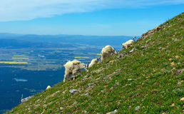 Mountain Goats Grazing On A Steep Mountainside Stock Image