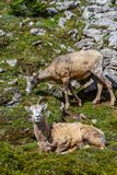 Mountain Goats Grazing on Parker Ridge in Canadian Rockies. Mountain goats grazing on the summit of Parker Ridge in Jasper National Park in the Canadian Rockies stock photography